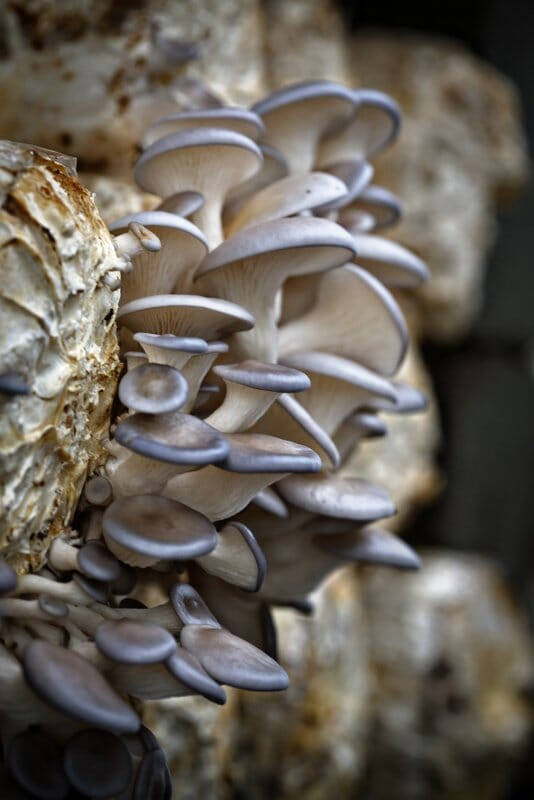 Growing Oysters from our 'grow' logs - what a beautiful sight.